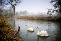 Minster Lovel Swans