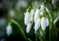 Icy Snowdrops
