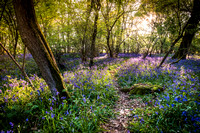 Evening Walks in the Bluebell Woods
